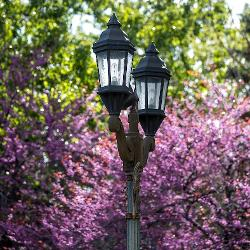 An unlit lamppost sits in front of a purple blossomed tree
