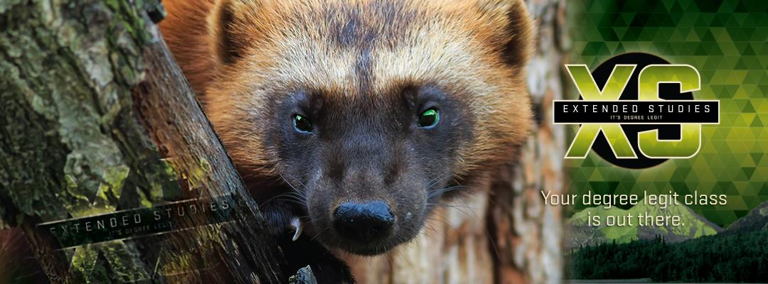Picture of wolverine.